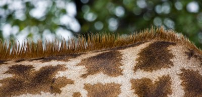 Giraffe mane