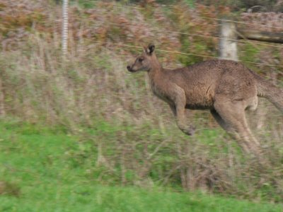 Grey_kangaroo.jpg
