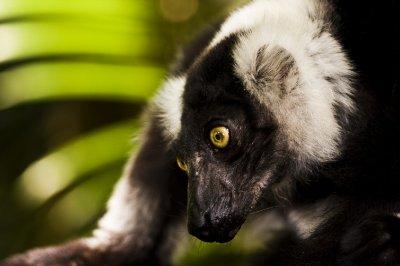 A very friendly lemur