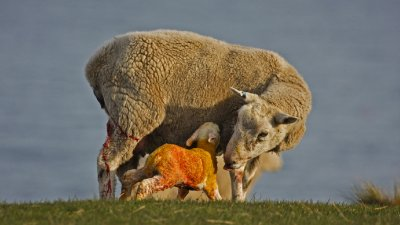 Mother_sheep_and_baby.jpg