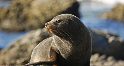 New_Zealand_Fur_Seal.jpg