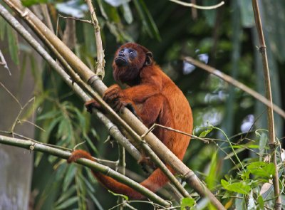 Red Howler Monkey 2