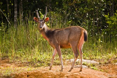Sambar_deer_male.jpg