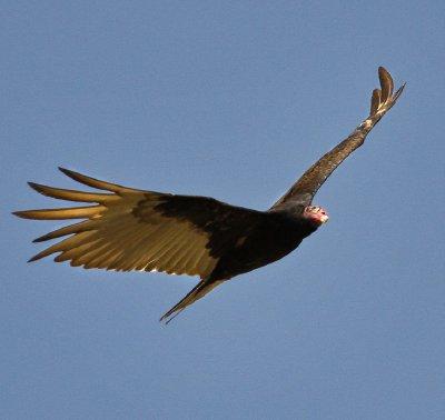 Vulture_3.jpg