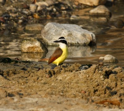 Yellow_bird.jpg