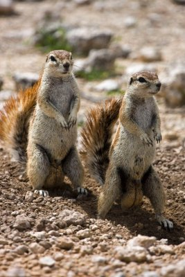 ground_squirrels.jpg
