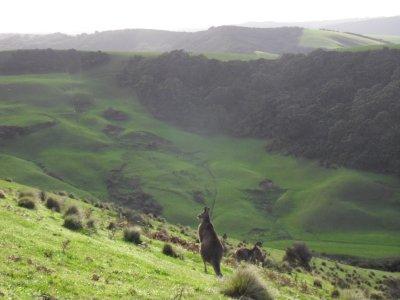 kangaroo_and_backdrop.jpg