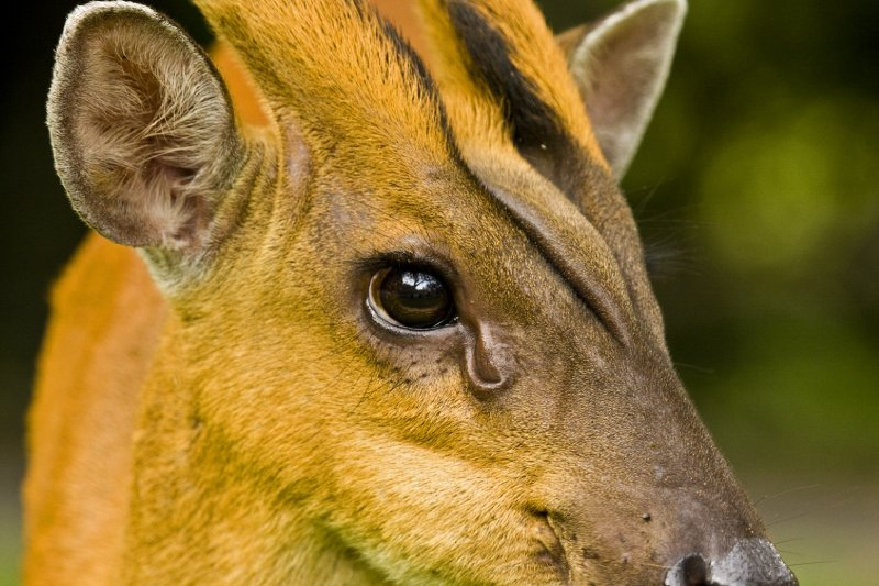 Muntjac deer male portrait