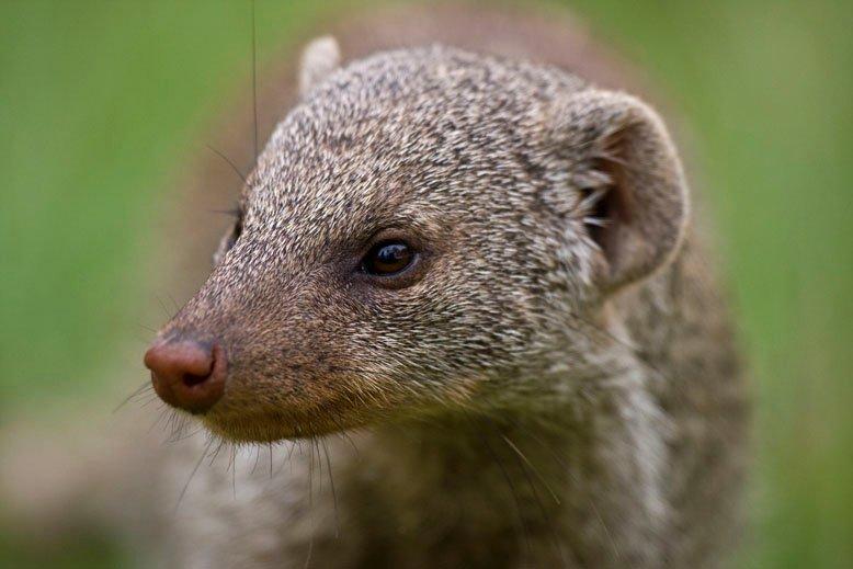 banded mongoose portrait