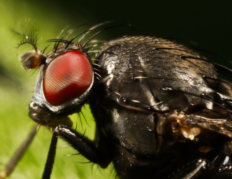 fly head close up