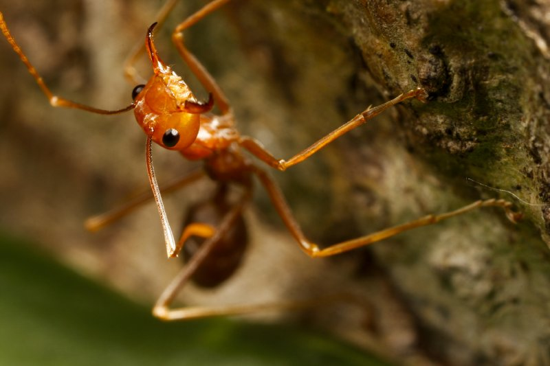 red ant jaws