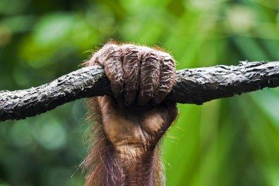 Orang hand
