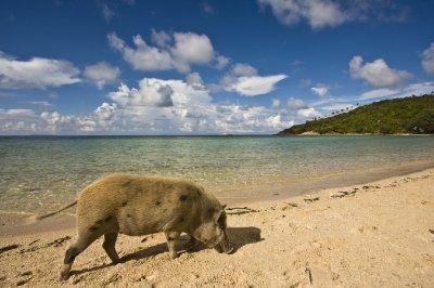 pig_on_beach.jpg