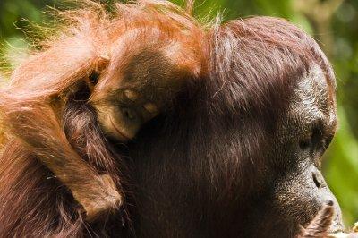 sleeping baby orang