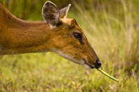 Muntjac deer eating