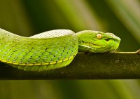 White mouthed pitt viper