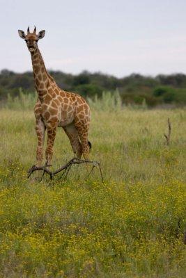 young_giraffe.jpg