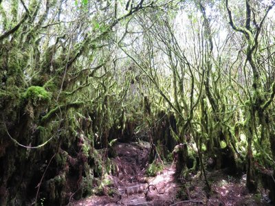 Mossy Forest, Irau Mountain