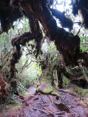 Mossy Forest, Mount Irau