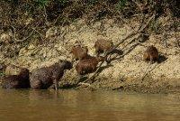 Rodinka Capibar