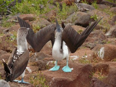 Blue_footed_Booby02.jpg