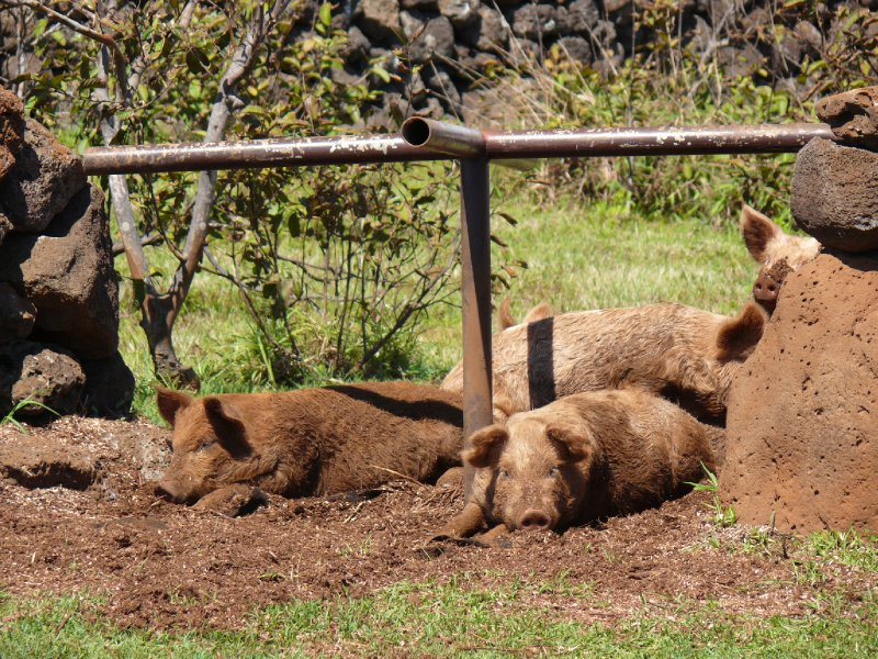 Easter Island05 - pigs