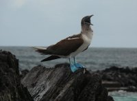 Blue_footed_Booby01.jpg