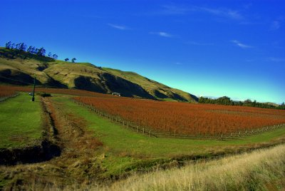 NZ South Island Vinyard