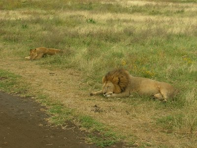 Lions in Ngorogoro crater