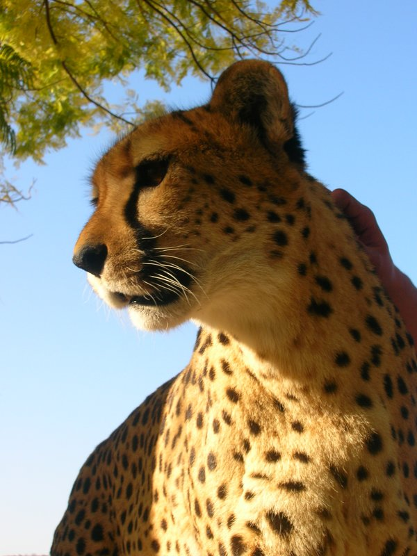 Patting a cheetah