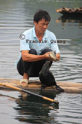 Fisherman removing a fish from the cormorant's throat, Yangshuo, Guangxi, China