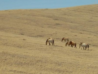 Mongolian endangered horsies
