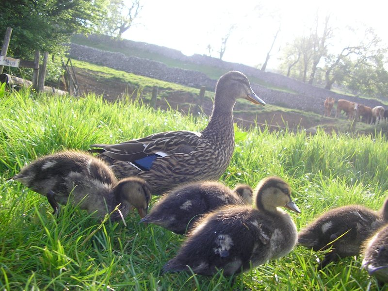 Family of Ducks,