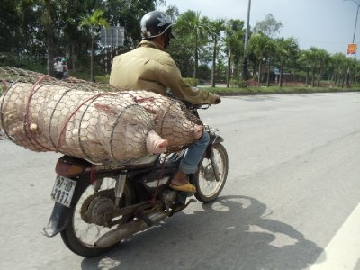 Interesting way of transporting pigs!