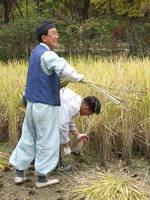 Traditional method of harvesting rice, South Korea