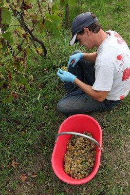 White_grape_harvest_2.jpg