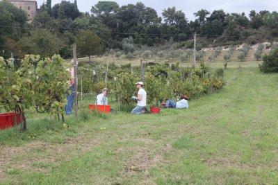 White_grape_harvest_3.jpg