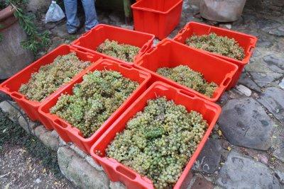 White_grape_harvest_5.jpg