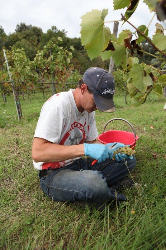 White grape harvest 1