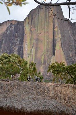 Ring-Tailed lemurs in front of the Tsaranaro Massif