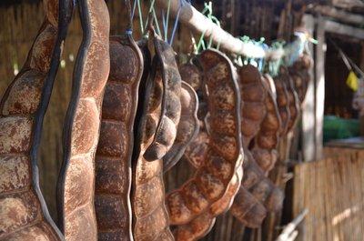 Giant Beans, Bekopaka