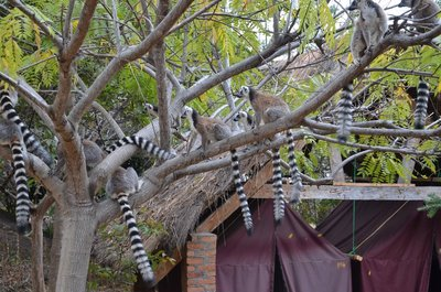 Ring-Tailed lemurs, Camp Catta