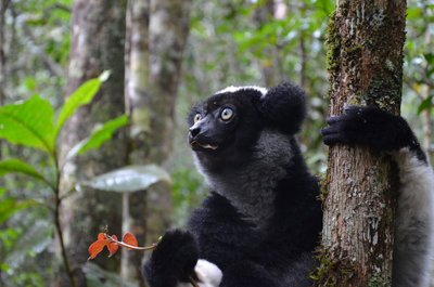 Indri close up, Mitsinjo Park
