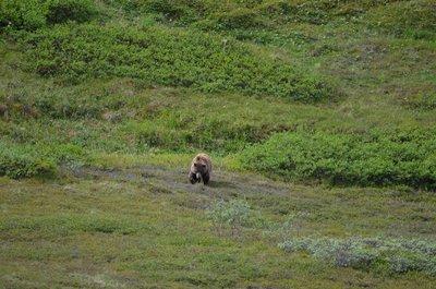 Bear, Denali NP
