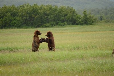 Bear fight, Hallo Bay