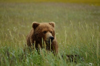 Brown bear mother