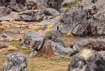 Viscacha, Jampa camp site
