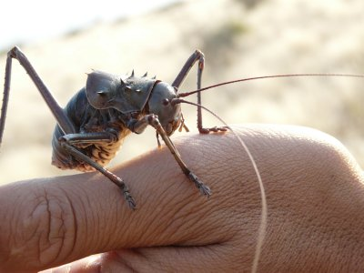 King Cricket, Camp agama