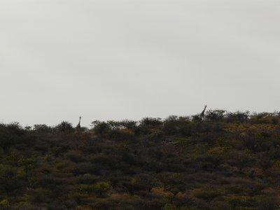 Giraffes on the hills
