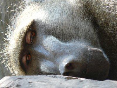 Baboon, Vic Falls National Park